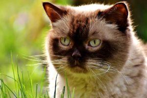 11 ciekawostek o kocie brytyjskim krótkowłosym