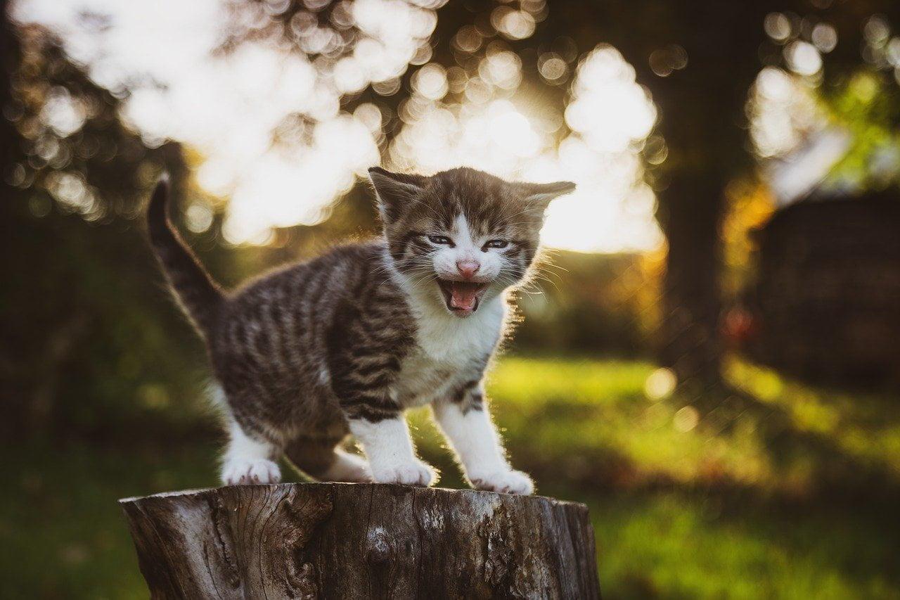 Odgłosy kota