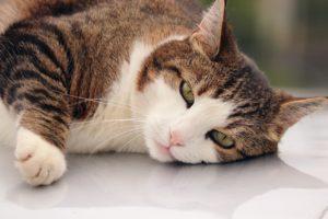 Kiedy Twój kot powinien przejść na dietę? Oto 5 oznak!