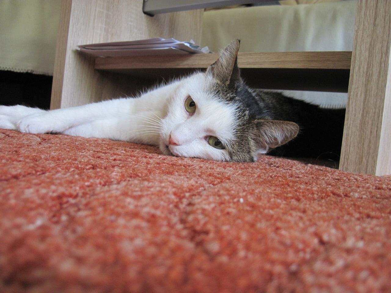 Jak utrzymać czystość w domu z kotem? Oto 5 sposobów!