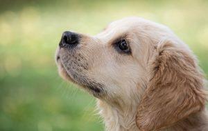Długość życia różnych psów