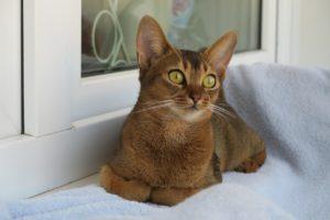 12 ciekawostek o kotach abisyńskich